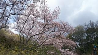植物園さくら4.JPG
